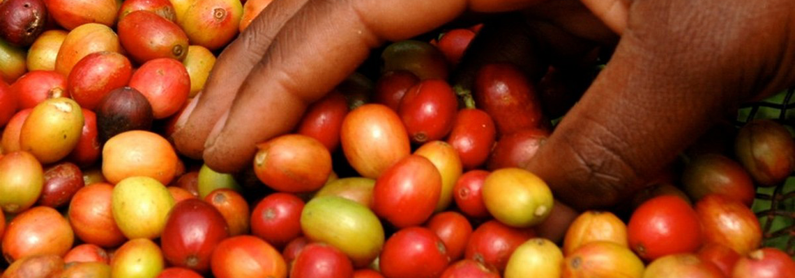 Green Leaf Uganda Coffee Company offer sustainable quality coffee from Uganda